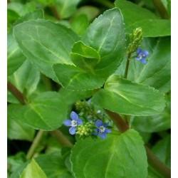 VERONICA Scrophulariaceae Véronique beccabunga