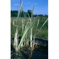 ACORUS Araceae Acore calamus Variegatus'.