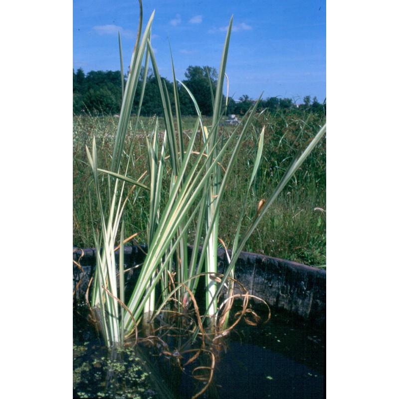 Acorus araceae acore calamus variegatus 39 aquatique de la moine for Vente en ligne vegetaux