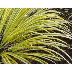ACORUS Araceae Acore gramineus Ogon