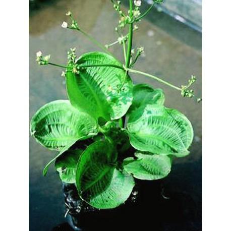 ALISMA Plantain-d'eau parviflorum