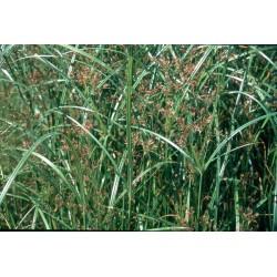 CYPERUS Cyperaceae Souchet-odorant longus
