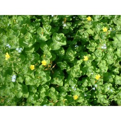 HYPERICUM Clusiaceae Millepertuis elodes