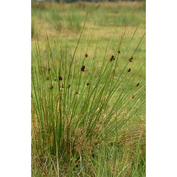 JUNCUS Juncaceae Jonc conglomeratus