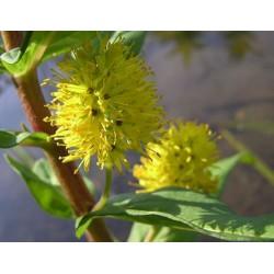 LYSIMACHIA Primulaceae thyrsiflora Goldstar
