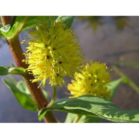LYSIMACHIA thyrsiflora Goldstar