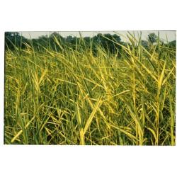 PHRAGMITES Poaceae Roseau australis Variegatus
