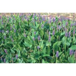 PONTEDERIA Pontederiaceae cordata