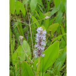PONTEDERIA Pontederiaceae lanceolata