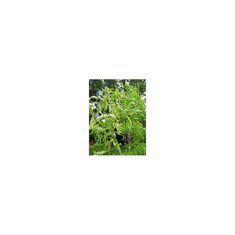 Salix babylonica tortuosa aquatique de la moine for Vente vegetaux