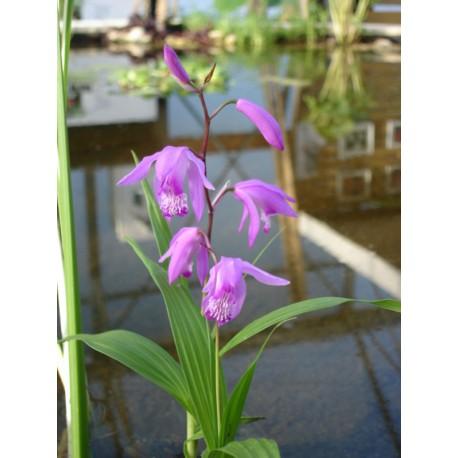 BLETILLA Orchidée du Japon striata