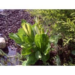 LYSICHITON Araceae Faux-arum du Kamtchatka. camtschatcensis