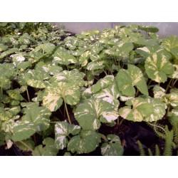 PETASITES Asteraceae japonicus Variegatus