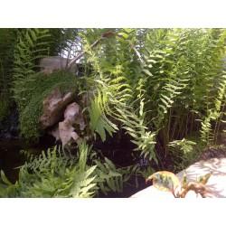 THELIPTERIS Aspidiaceae Fougère des marais palustris