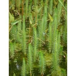 HIPPURIS Hippuridaceae Queue de cheval vulgaris
