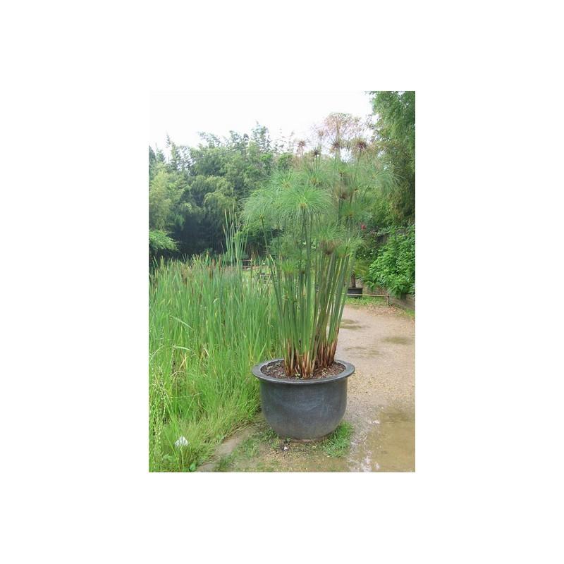 Cyperus cyperaceae papyrus du nil papyrus aquatique de la moine for Vente en ligne vegetaux