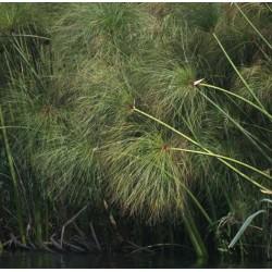 CYPERUS Cyperaceae Papyrus du Nil papyrus