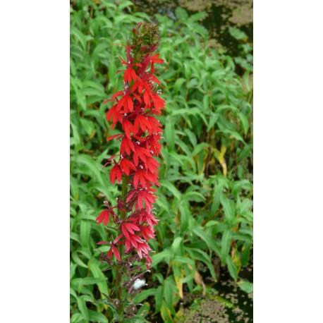 LOBELIA Campanulaceae Lobélie cardinalis
