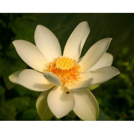 NELUMBO Nelumbonaceae Lotus lutea Flavescens
