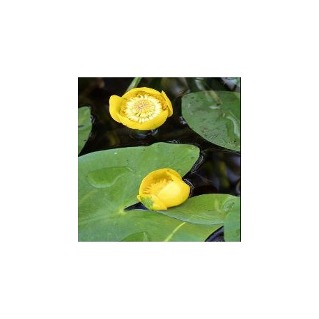 NUPHAR Nymphaeaceae Jaunet d'eau lutea