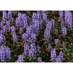 AJUGA Lamiaceae Bugle Reptans