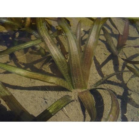VALLISNERIA Hydrocharitaceae Vallisnérie americana