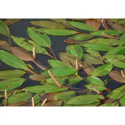 POTAMOGETON Potamogetonaceae Potamot x fluitans
