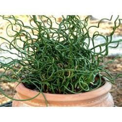 JUNCUS Juncaceae effusus Spiralis