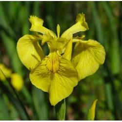 IRIS Iridaceae pseudacorus Flore Pleno