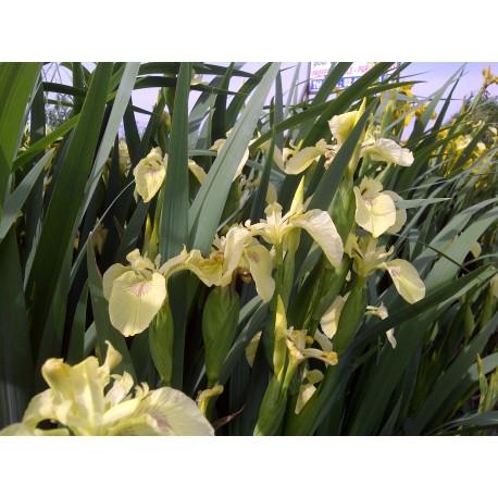 IRIS Iridaceae pseudacorus Golden Queen