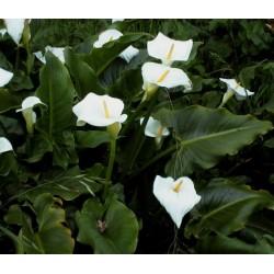 ZANTEDESCHIA Araceae Arum, Calla aethiopica