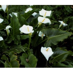 ZANTEDESCHIA Arum, Calla aethiopica