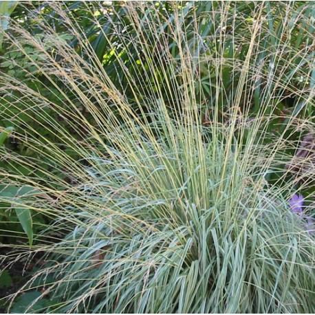 MOLINIA Poaceae caerulea Variegata