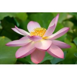 Lotus nucifera Pekinensis Rubra