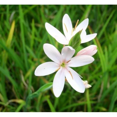SCHIZOSTYLIS Iridaceae coccinea Alba