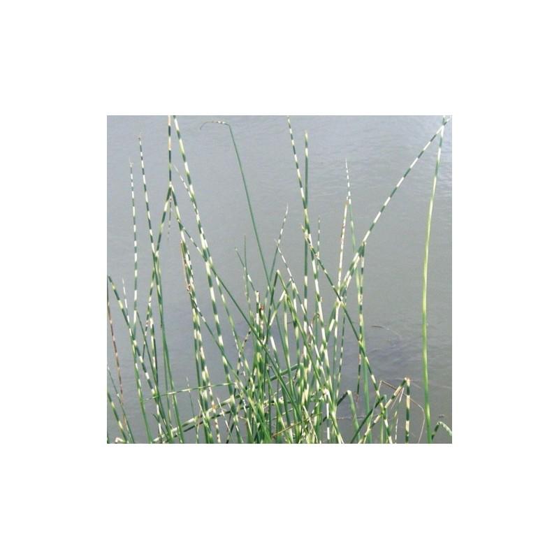 Schoenoplectus cyperaceae scirpe aquatique de la moine for Vente vegetaux