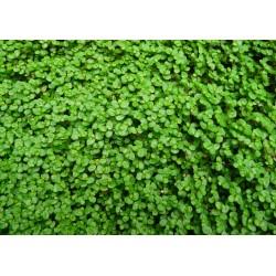 SOLEIROLIA Urticaceae Helxine soleirolii