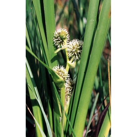 SPARGANIUM Sparganiaceae erectum