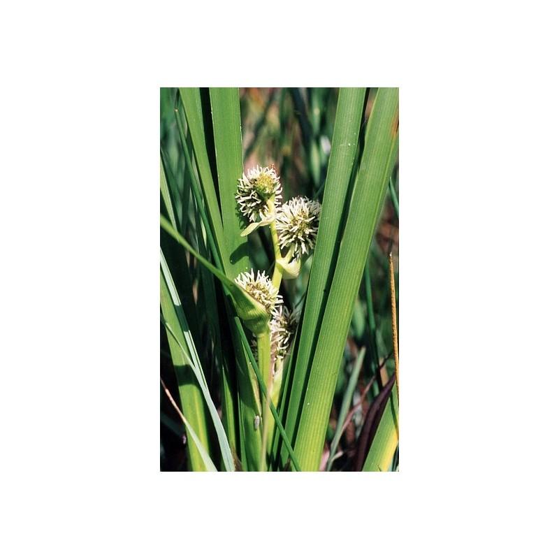 Sparganium sparganiaceae erectum aquatique de la moine for Vente vegetaux