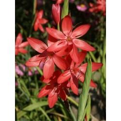 SCHIZOSTYLIS Iridaceae Lis des Cafres coccinea