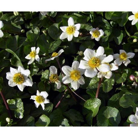 CALTHA Ranunculaceae P palustris alba