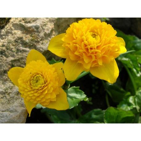 CALTHA Ranunculaceae P palustris Plena