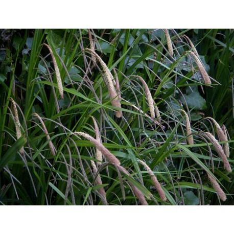 CAREX Cyperaceae Laîche pendula