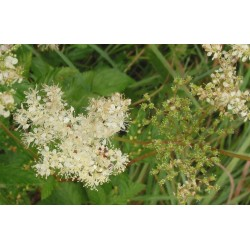 FILIPENDULA Rosaceae ulmaria