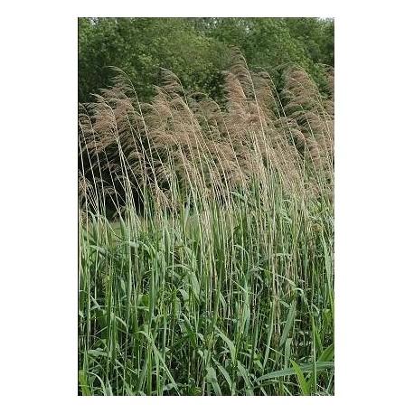 PHRAGMITES Poaceae Roseau australis
