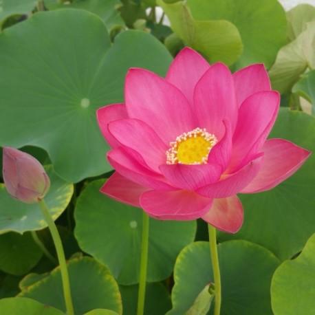 NELUMBO Nelumbonaceae Lotus Hong Xia