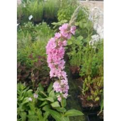 LYTHRUM salicaria Blush