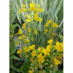 MIMULUS Scrophulariaceae luteus
