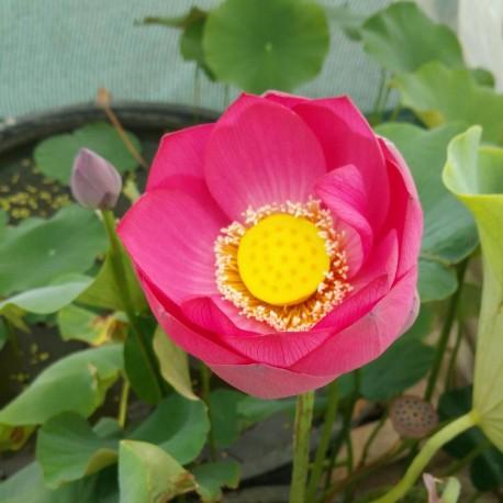 NELUMBO Nelumbonaceae Lotus Yemen Red