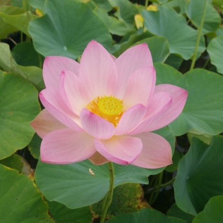 Lotus Kermesina
